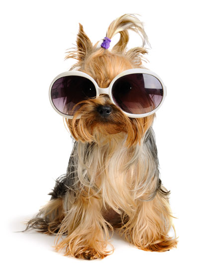 yorkshire terrier fashion